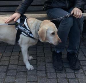 """hand på stående ledarhund med skylten """"guide dog"""""""